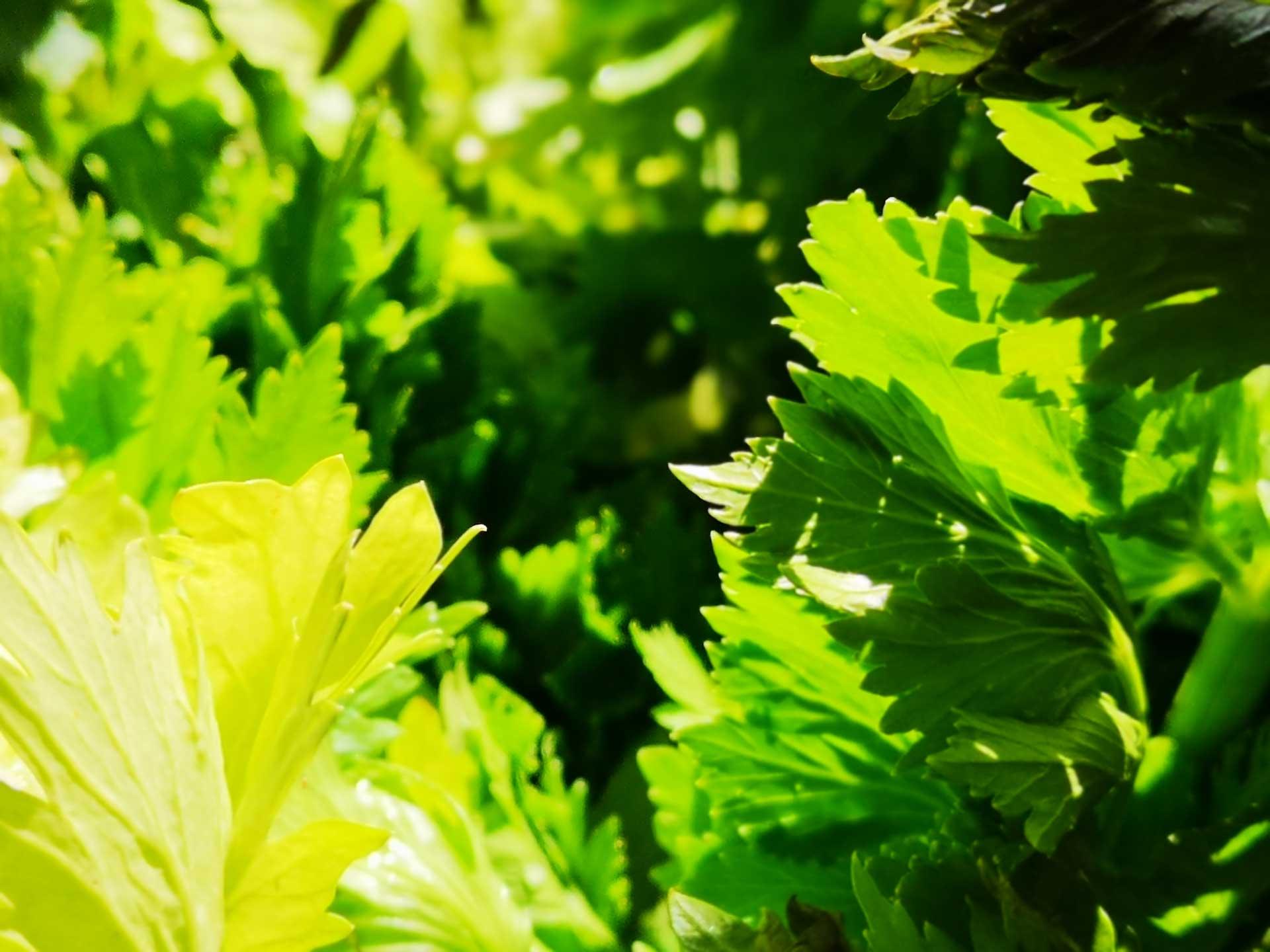 חמניה | רפואה טבעית לילדים:צמחי מרפא, צמחים מרפאים, רפואת צמחים, צמח מרפא